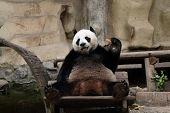 Panda Bear Eating Carrot