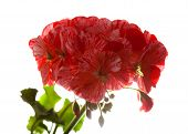 pic of geranium  - variegated pink and red geranium isolated on white - JPG