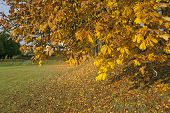 Close up on autumn leaves on a chestnut tree.