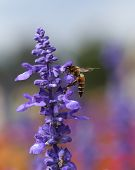 picture of bumble bee  - Lavender flower with bee in the garden - JPG