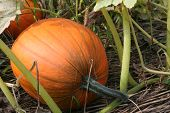 Pumpkin_9232