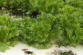 Green Oak, Cultivation Hydroponics Green Vegetable