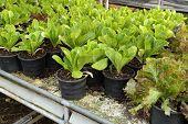 stock photo of butter-lettuce  - fresh butter head is grown in pot - JPG