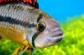 Portrait Of Apistogramma Fish