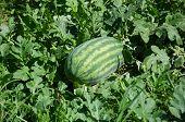 pic of crop  - Watermelon crop in a farm in Myanmar - JPG