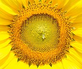 Closeup Sun Flower