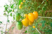 Cluster Yellow Tomato