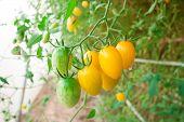 Cluster Yellow Tomato