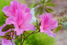 foto of azalea  - Pink azaleas in the park close up and soft focus  - JPG