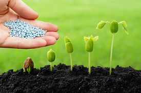 pic of germination  - hand giving chemical fertilizer to plants growing in sequence of seed germination on soil - JPG