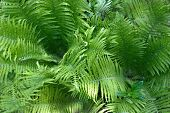 image of fern  - green fern growing in the forest the month of May  - JPG