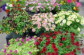 image of petunia  - Hanging baskets filled with colorful petunias in garden nursery - JPG