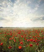 picture of poppy flower  -  landscape poppy flowers in the sky - JPG