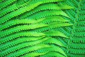 picture of fern  - Bright green leaves of a fern as a background - JPG