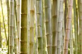 pic of bamboo forest  - bamboo forest - JPG