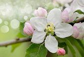 stock photo of apple blossom  - Blossoming apple - JPG