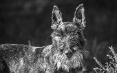 picture of scottish terrier  - Scottish terrier looking straight into the garden - JPG