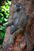 Baboon On A Tree.