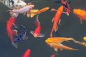 image of fish pond  - The Colorful ornamental fish in the pond - JPG