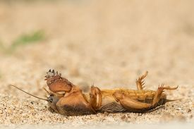 picture of mole  - the mole cricket pretended to be dead - JPG