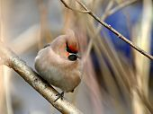 Thick Waxwing On A Branch.