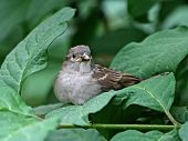 Nestling Of A Sparrow.