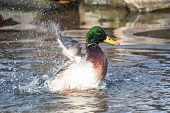 An Adult Mallard Drake Splashes In A Pond, Playing And Grooming Himself poster