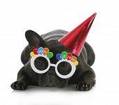 birthday dog - french bulldog wearing happy birthday glasses and hat on white background