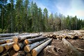 Deforestation In Rural Areas. Timber Harvesting. Green Coniferous Forest. Spruce, Pine. A Lot Of Log poster