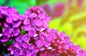 Lilac Flowers In Sunny Spring Garden, Spring Flower Background. Selective Focus At The Spring Lilac  poster