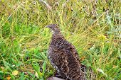 Dusky Grouse Female (dendragapus Obscurus)