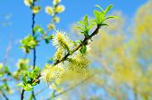 Spring Nature View Of Spring Willow Fluffy Buds Against Blue Sky. Spring Background. Spring Sunny Na poster