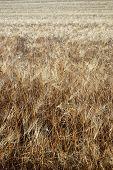 wheat field closeup