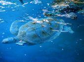Turtles Swimming Underwater