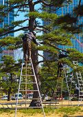 A Pair Of Arborists, Tree Surgeons, At Work In Tokyo Japan. A Tall Bonsai Style Japanese Black Pine, poster