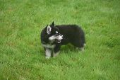 Cute Siberian Husky Panting From Running Around poster