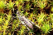 Grasshopper (Caelifera) On Green Moss