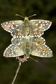 Pyrgus malvae Butterfly mating (Grizzled skipper)