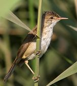 reed warbler (Acrocephalus scirpaceus) sitting on the reed