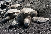 Green Sea Turtles On Black Sand Beach