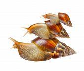 Familia de caracol