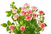 Heester met roze rozen en groene Leafes