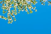 Branch With White Blooming Apple Flowers On The Background Of The Clear Blue Sky Under Bright Sunlig poster