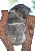 Australian Koala Bear Perched In Eucalyptus Tree, Wildlife Reserve, Queensland, Australia