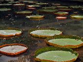 foto of hydrophytes  - red green water lilies on a little pond - JPG
