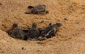 Baby Sea Turtle Hatching. One Day Old Sea Turtles In Hikkaduwa In The Turtle Farm.,sri Lanka . Logge poster