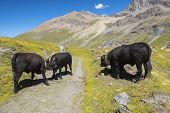 Landscape With Three Bulls Of Swiss Breed  In The Swiss Alps poster
