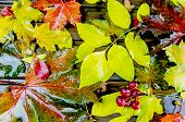 Autumn Background. Multicolored Maple Leaves, Rain, Wet poster
