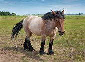 Powerful Belgian Horse Standing In The Field