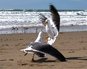Seagulls Fighting